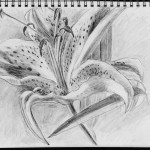 Daylily, graphite on archival paper, 11 x 14 inches